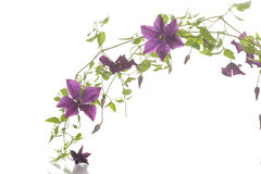Beautiful blooming clematis Royalty Free Stock Photo