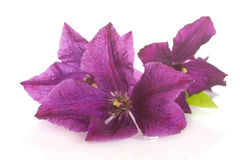 Beautiful blooming clematis Stock Photo