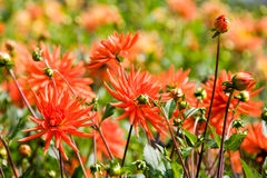 Beautiful blooming  dahlia flowers Stock Images