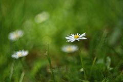 Beautiful blooming daisies in spring meadow.Abstract blurred background. Springtime. Photos old lens. stock image