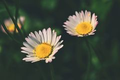 Springtime. Beautiful blooming daisies in spring meadow. Abstract blurred background. royalty free stock photography