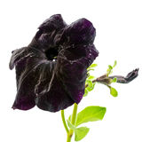 Beautiful blooming dark petunia flower is isolated on white back Stock Images