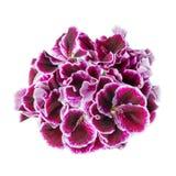 Beautiful blooming dark purple geranium flower is isolated on wh. Ite background. Royal Pelargonium royalty free stock photos