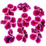 Beautiful blooming dark purple geranium flower like as backgroun Royalty Free Stock Images