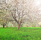 Beautiful blooming of decorative white apple and fruit trees Stock Images
