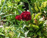 Beautiful blooming deep red cluster flower at a botanical garden in Durham, North Carolina. In springtime stock photos