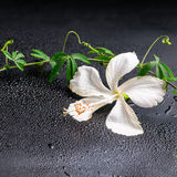 Beautiful blooming delicate white hibiscus, green twig with tend Royalty Free Stock Photos