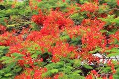 A beautiful blooming flamboyant in Brisbane stock photo