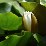 Beautiful blooming flower - white water lily on a pond. (Nymphaea alba) Natural colored blurred background. Royalty Free Stock Images