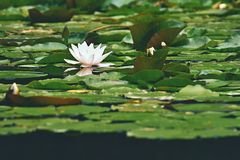 Beautiful blooming flower - white water lily on a pond. (Nymphaea alba) Natural colored blurred background. Royalty Free Stock Image
