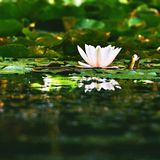 Beautiful blooming flower - white water lily on a pond. (Nymphaea alba) Natural colored blurred background. Royalty Free Stock Photo