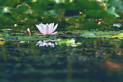 Beautiful blooming flower - white water lily on a pond. (Nymphaea alba) Natural colored blurred background. Stock Images