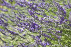Beautiful Blooming Lavender. Beautiful Blooming of French Lavender with sunlight royalty free stock image