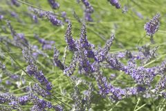 Beautiful Blooming Lavender Stock Images