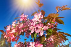Beautiful blooming fruit tree. Background with flowers on a spring day. Springtime. Beautiful blooming fruit tree. Background with flowers on a spring day royalty free stock images