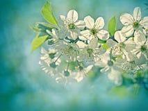 Beautiful blooming fruit tree Stock Images