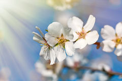 Beautiful blooming fruit tree - close up Stock Images