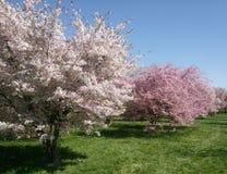 Beautiful blooming fruit tree grown in park near Prague in spring stock photo