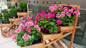 Beautiful blooming geranium flowers. Blooming geranium flowers in the market royalty free stock photo