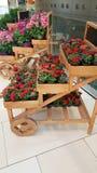 Beautiful blooming geranium flowers. Blooming geranium flowers in the market stock images