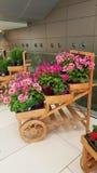 Beautiful blooming geranium flowers. Blooming geranium flowers in the market royalty free stock image