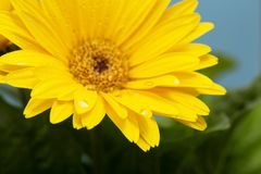 Beautiful blooming gerbera is blooming. Yellow Gerbera daisy macro with water droplets on the petals. royalty free stock image