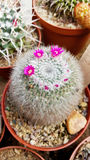 Beautiful blooming green cacti  in the Sofia Botanical Garden Royalty Free Stock Photos