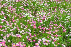 Beautiful blooming green meadow  with flowers. Beautiful blooming green meadow with pink and white  flowers  at the noon Royalty Free Stock Photo
