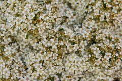 Beautiful blooming gypsophila million star on a sunny day stock photo
