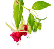 Beautiful blooming hanging twig in shades of bright red fuchsia Stock Photos