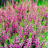 Beautiful blooming heather Stock Photography