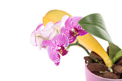 Beautiful blooming home flowers orchids. Royalty Free Stock Photos