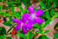 Beautiful blooming Indian Rhododendron (Osbeckia stellata Ham.) Royalty Free Stock Photos
