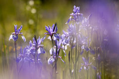 Beautiful blooming iris flowers Stock Image