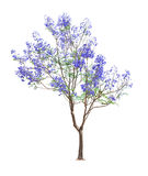 Beautiful blooming Jacaranda tree Stock Photography