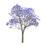 Beautiful blooming Jacaranda tree. Isolated on white background Stock Photos