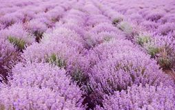 Beautiful blooming lavender in field. On summer day royalty free stock images