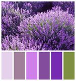 Beautiful blooming lavender in field. Natural color palette for interior or fashion design Royalty Free Stock Image
