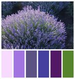 Beautiful blooming lavender in field. Natural color palette for interior or fashion design. And art stock image