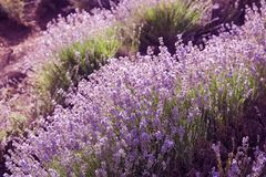 Beautiful blooming lavender in field Stock Image