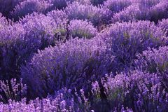 Beautiful blooming lavender in field. On summer day stock images