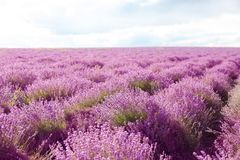 Beautiful blooming lavender in field on summer day royalty free stock image