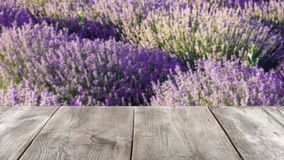 Beautiful blooming lavender in field stock photos
