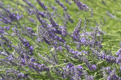 Beautiful Blooming Lavender. Beautiful Blooming of French Lavender with sunlight stock photos