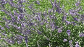 Beautiful Blooming Lavender stock video