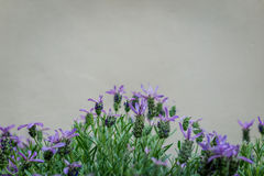 Beautiful blooming lavenders flower Lavandula stoechas with st Royalty Free Stock Images