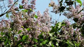 Beautiful blooming lilac branch in the wind stock footage