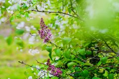 Beautiful blooming lilac flowers Stock Images
