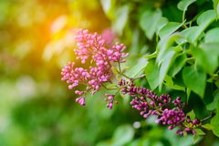 Beautiful blooming lilac flowers Stock Photo