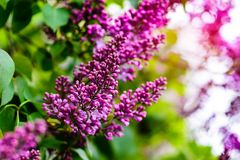 Beautiful blooming lilac flowers Royalty Free Stock Images